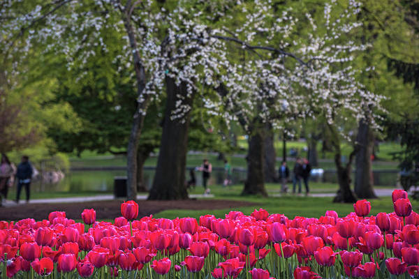 Photograph - Boston Spring Tulips In The Boston Public Garden by Toby McGuire