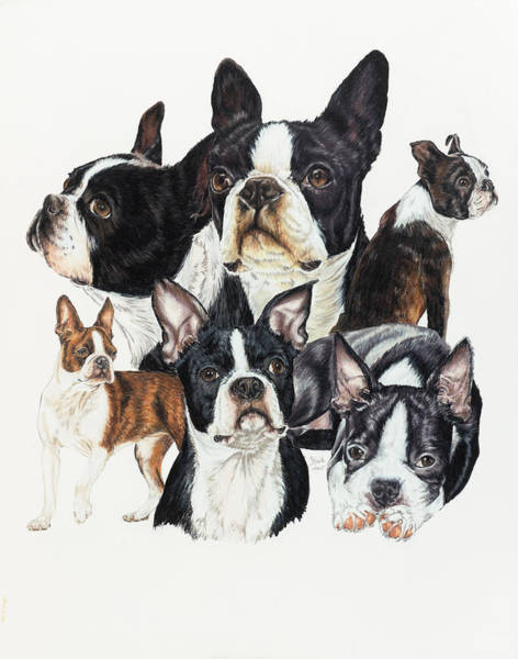 Drawing - Boston Terrier by Barbara Keith