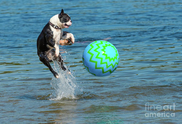 Photograph - Boston Terrier High Jump by Les Palenik