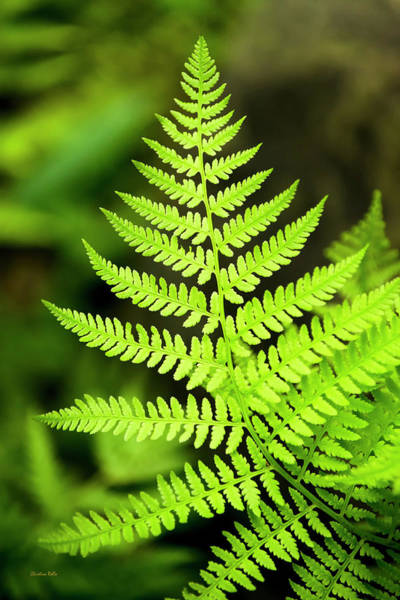 Photograph - Botanical Fern by Christina Rollo