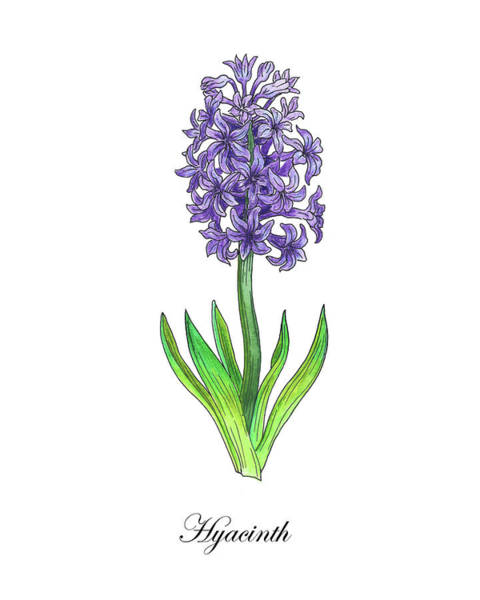 Painting - Botanical Watercolor Of Hyacinth Flower by Irina Sztukowski