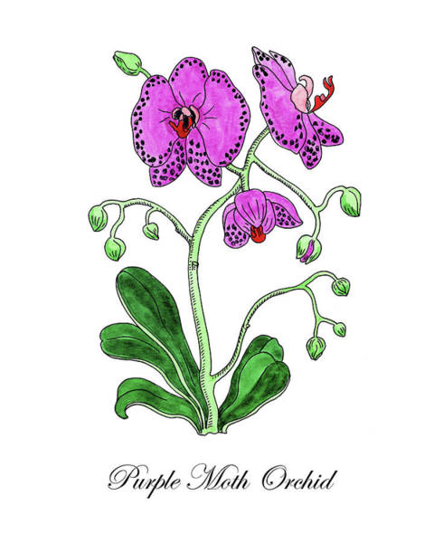 Painting - Botanical Watercolor Of Moth Orchid by Irina Sztukowski