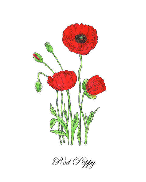 Botanic Painting - Botanical Watercolor Of Red Poppy Flowers by Irina Sztukowski