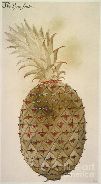 Photograph - Botany: Pineapple, 1585 by Granger