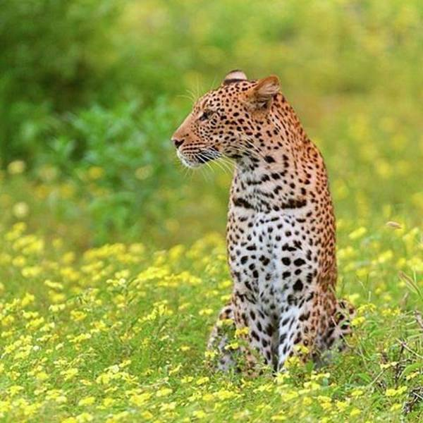 Leopard Photograph - Botswana Leopard  by Happy Home Artistry