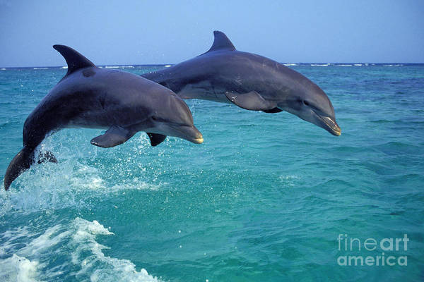 Wall Art - Photograph - Bottle-nosed Dolphin by Thomas and Pat Leeson