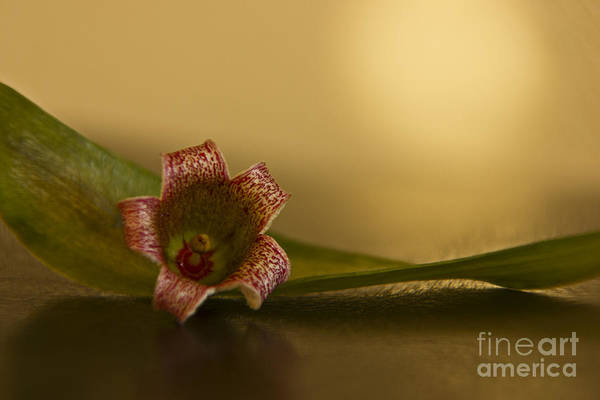 Photograph - Bottle Tree Flower by Kelly Holm