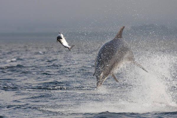 Photograph - Bottlenose Dolphin Chasing A Fish - Scotland #9 by Karen Van Der Zijden