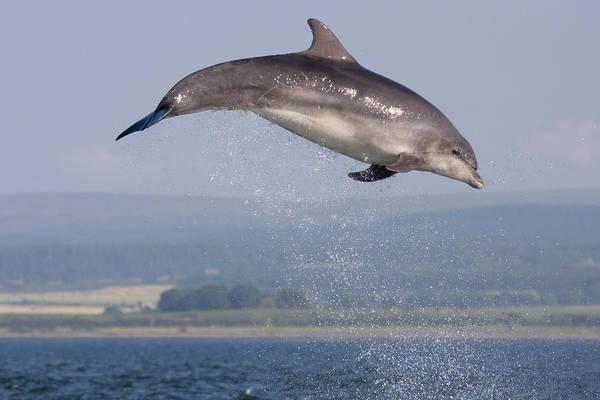 Photograph - Bottlenose Dolphin - Scotland #3 by Karen Van Der Zijden