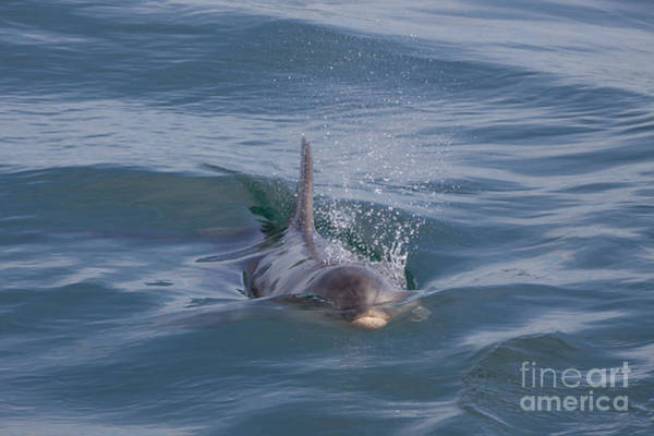 Photograph - Bottlenose Dolphin - Port Phillip Bay by Karen Van Der Zijden