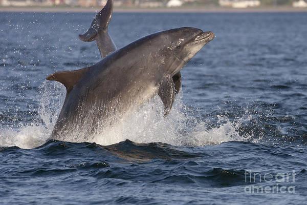 Photograph - Bottlenose Dolphin - Scotland  #20 by Karen Van Der Zijden