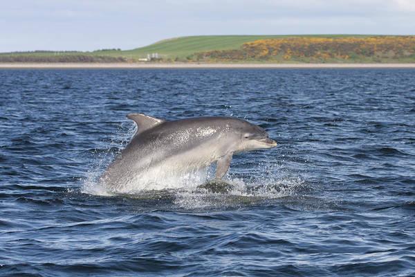 Photograph - Bottlenose Dolphin - Scotland  #32 by Karen Van Der Zijden