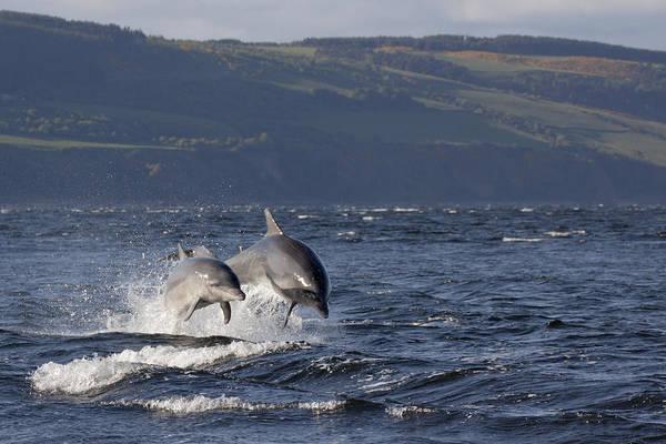 Photograph - Bottlenose Dolphins Leaping - Scotland  #37 by Karen Van Der Zijden