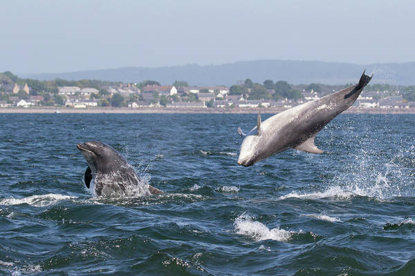 Photograph - Bottlenose Dolphins - Moray Firth Scotland #45 by Karen Van Der Zijden