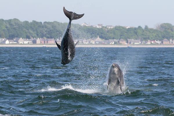 Photograph - Bottlenose Dolphins - Moray Firth Scotland #46 by Karen Van Der Zijden