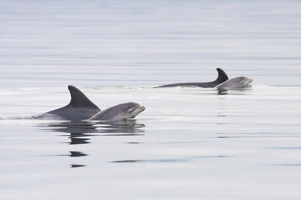 Photograph - Mothers And Babies - Bottlenose Dolphins - Scotland #2 by Karen Van Der Zijden