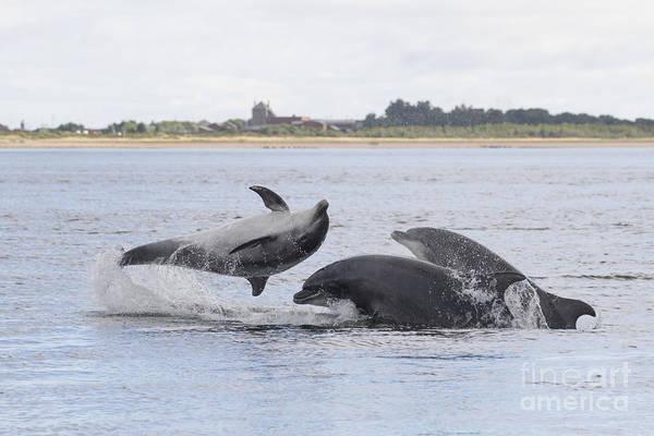Photograph - Bottlenose Dolphins - Scotland #21 by Karen Van Der Zijden