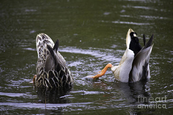 Photograph - Bottoms Up Ducks by Donna L Munro