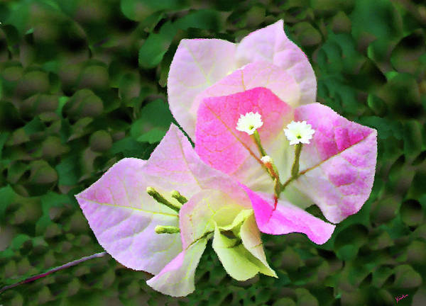 Photograph - Bougainvillea Blossoms by Kristin Elmquist