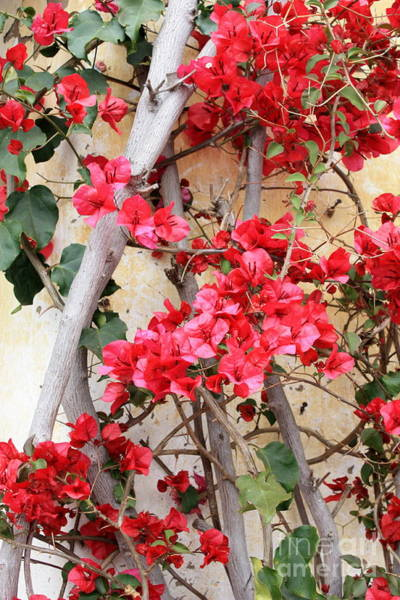 Carmel Mission Photograph - Bougainvillea by Carol Groenen