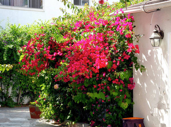 Photograph - Bougainvillea Courtyard by Gene Parks
