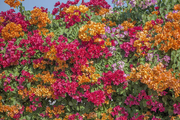 Photograph - Bougainvillea Dthcb0054 by Gerry Gantt