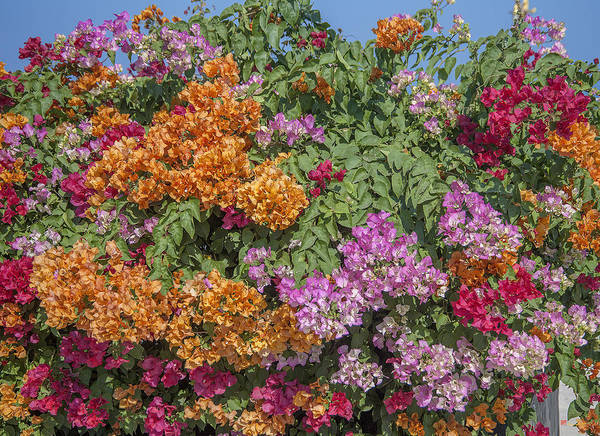 Photograph - Bougainvillea Dthcb0055 by Gerry Gantt