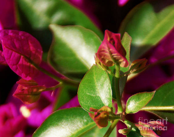 Photograph - Bougainvillea by Linda Shafer