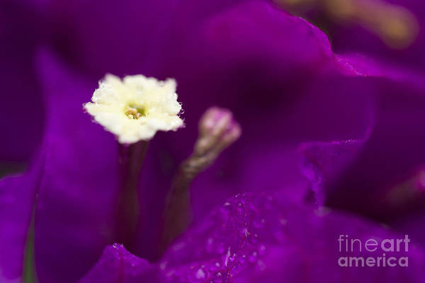 Photograph - Bougainvillea Spectabilis Macro by Sharon Mau