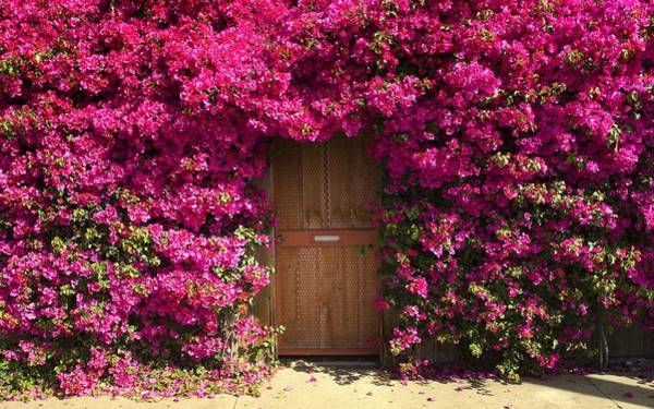 Photograph - Bougainvillea by Thomas M Pikolin