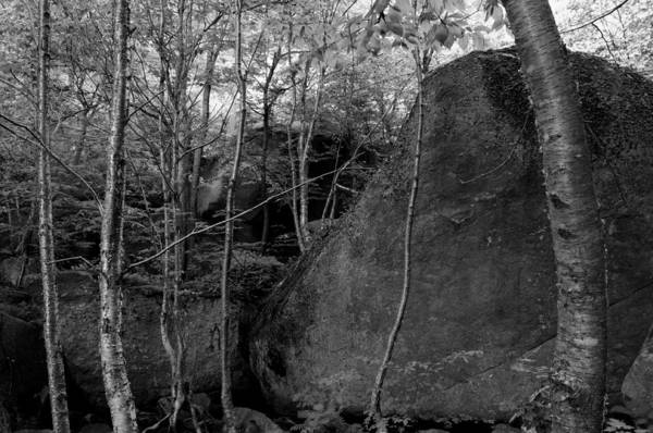 Photograph - Boulders And Yellow Birch by Bob Grabowski