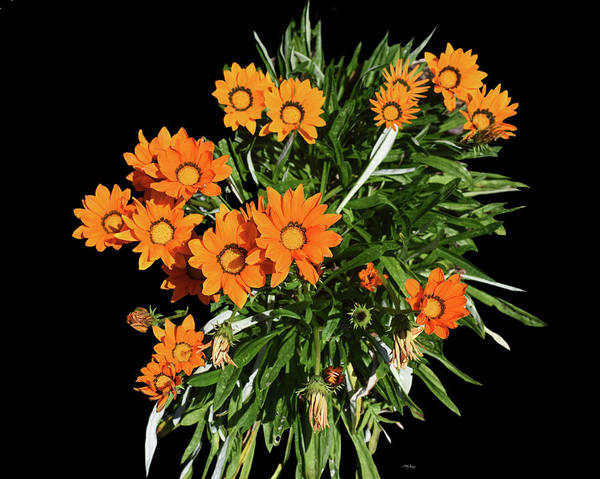Photograph - Bouquet Of Gazania by Sally Sperry
