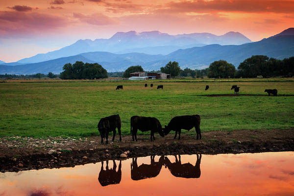 Bovine Sunset Art Print by Johnny Adolphson