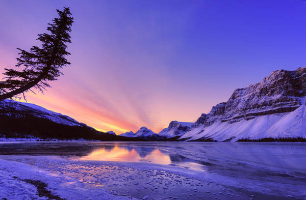 Photograph - Bow Lake And Pine by Dan Jurak
