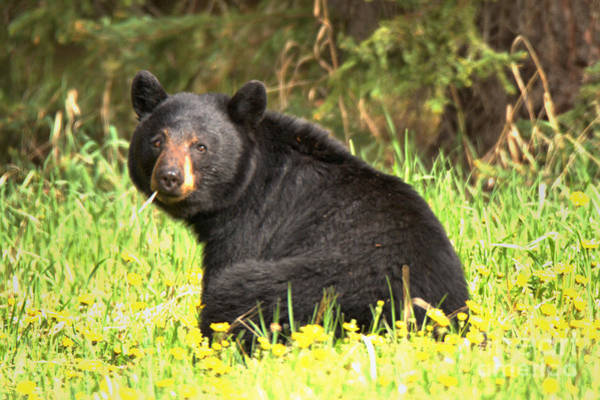 Photograph - Bow Valley Black Bear by Adam Jewell