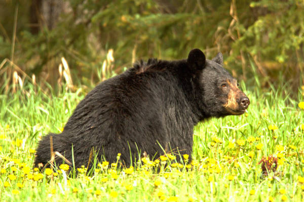 Photograph - Bow Valley Happy Black Bear by Adam Jewell