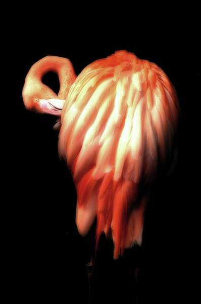 Photograph - Bowie Flamingo by Beth Akerman