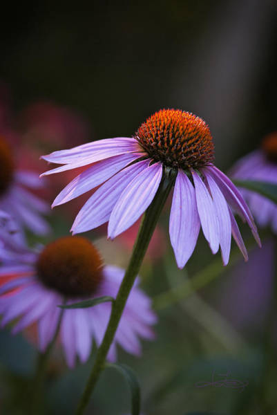 Photograph - Bowing To The Light by Jill Love