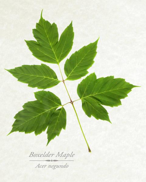 Mixed Media - Box Elder Maple Leaf by Christina Rollo
