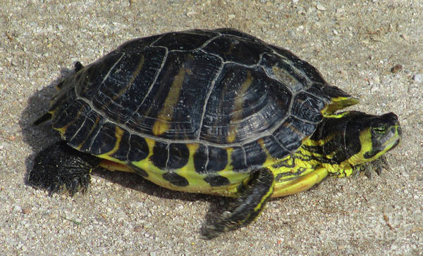Box Turtle Photograph - Box Turtle by Randall Weidner