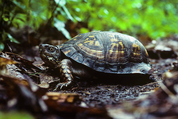 Photograph - Box Turtle by Robert Potts