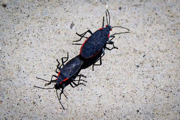 Photograph - Boxelder Bugs by Alison Frank
