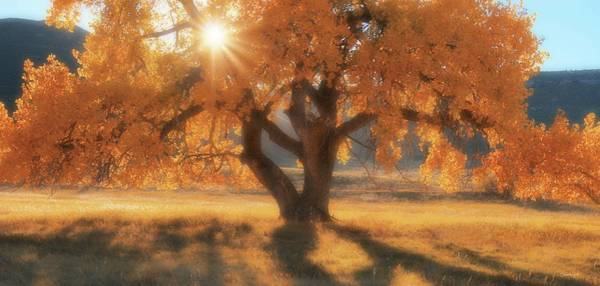 Boxelder's Autumn Tree Art Print