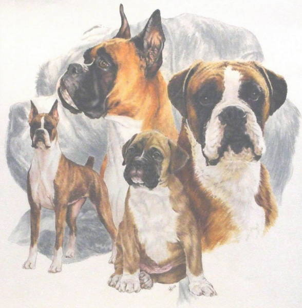 Drawing - Boxer Grouping by Barbara Keith