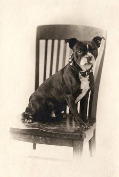 Breed Of Dog Photograph - Boxer Sitting On A Chair by Unknown