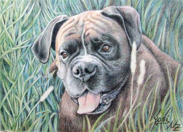 Chien Drawing - Boxer Yosi by Nicole Zeug