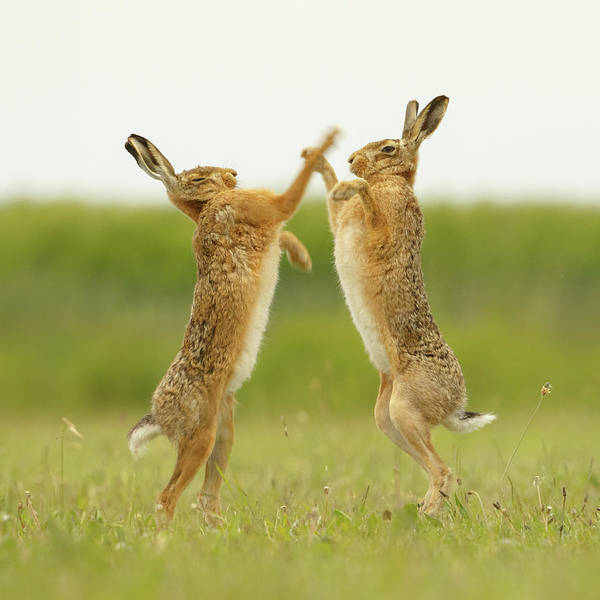 Photograph - Boxing Hares Square by Simon Litten