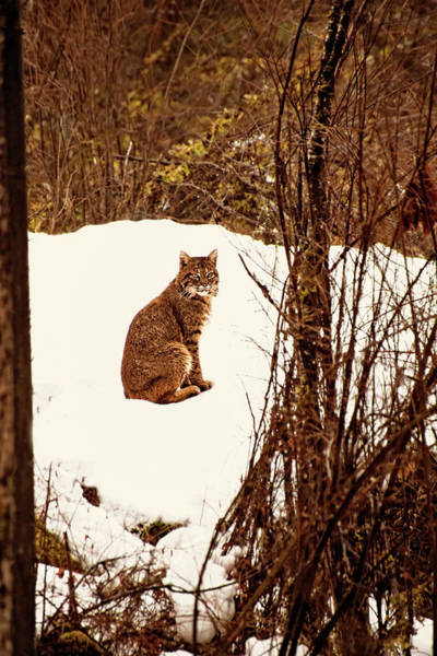Photograph - Bobcat In Snow by Peggy Collins