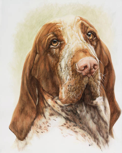 Painting - Bracco Italiano In Watercolor by Barbara Keith