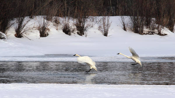 Bracing Photograph - Brace For Impact - Trumpeter Swans by TL Mair